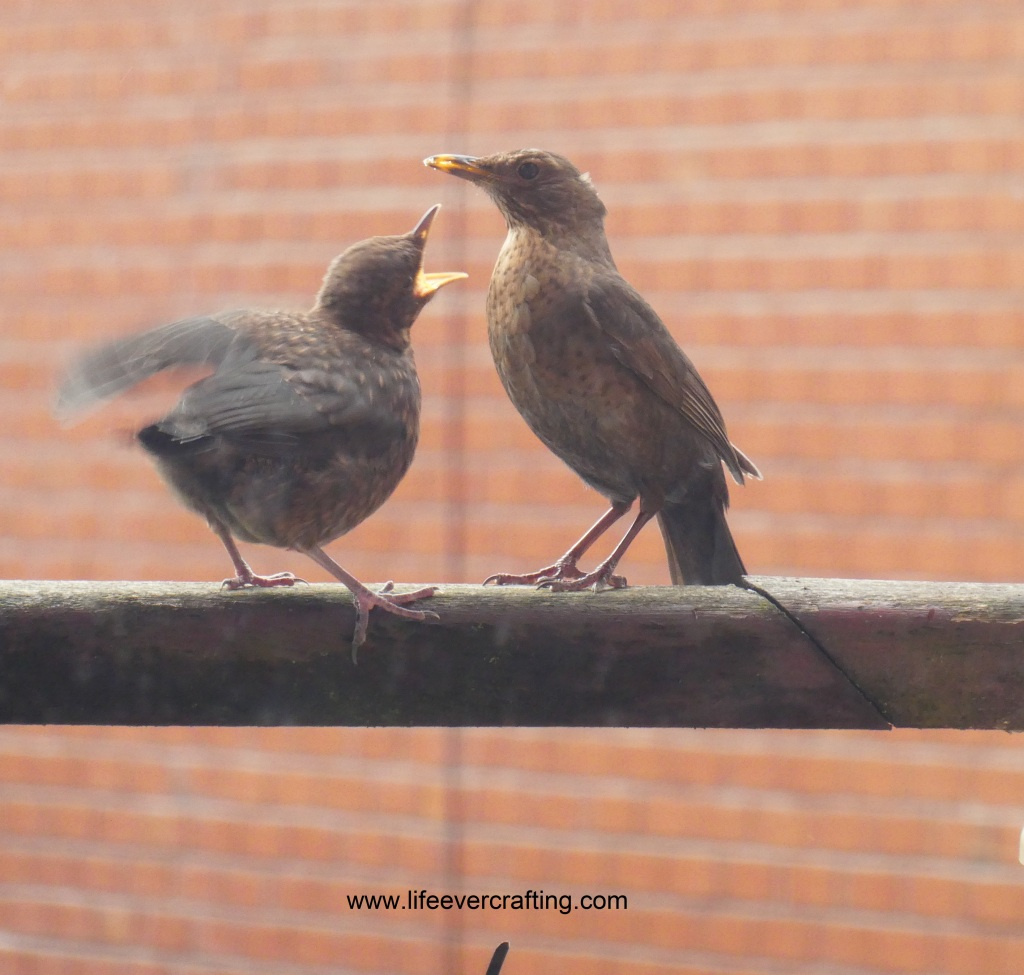 The image shows two blackbirds: a fledgling on the left with its beak open, and a female on the right.